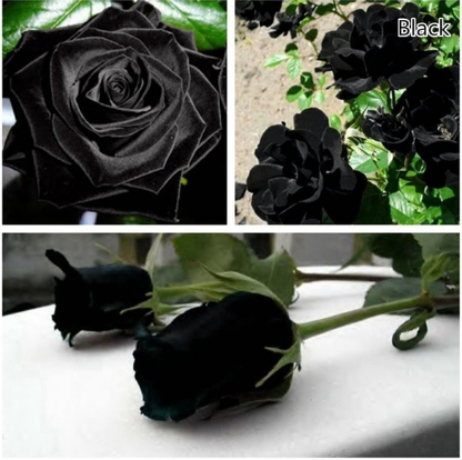 100pcs Rose Flower Seeds Mystic Flower Seed Perennial Garden Balcony Flower Seeds