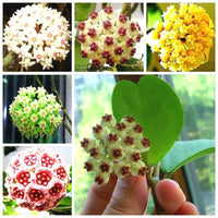 20Pcs Hoya Seeds Potted Seed Hoya Carnosa Flower Seed Garden Plants