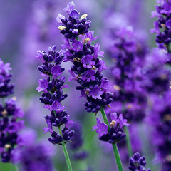 Lavender 40/42 Pure Essential Oil 0.5oz