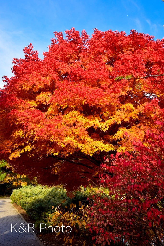 Buffalo in the fall: tree on fire