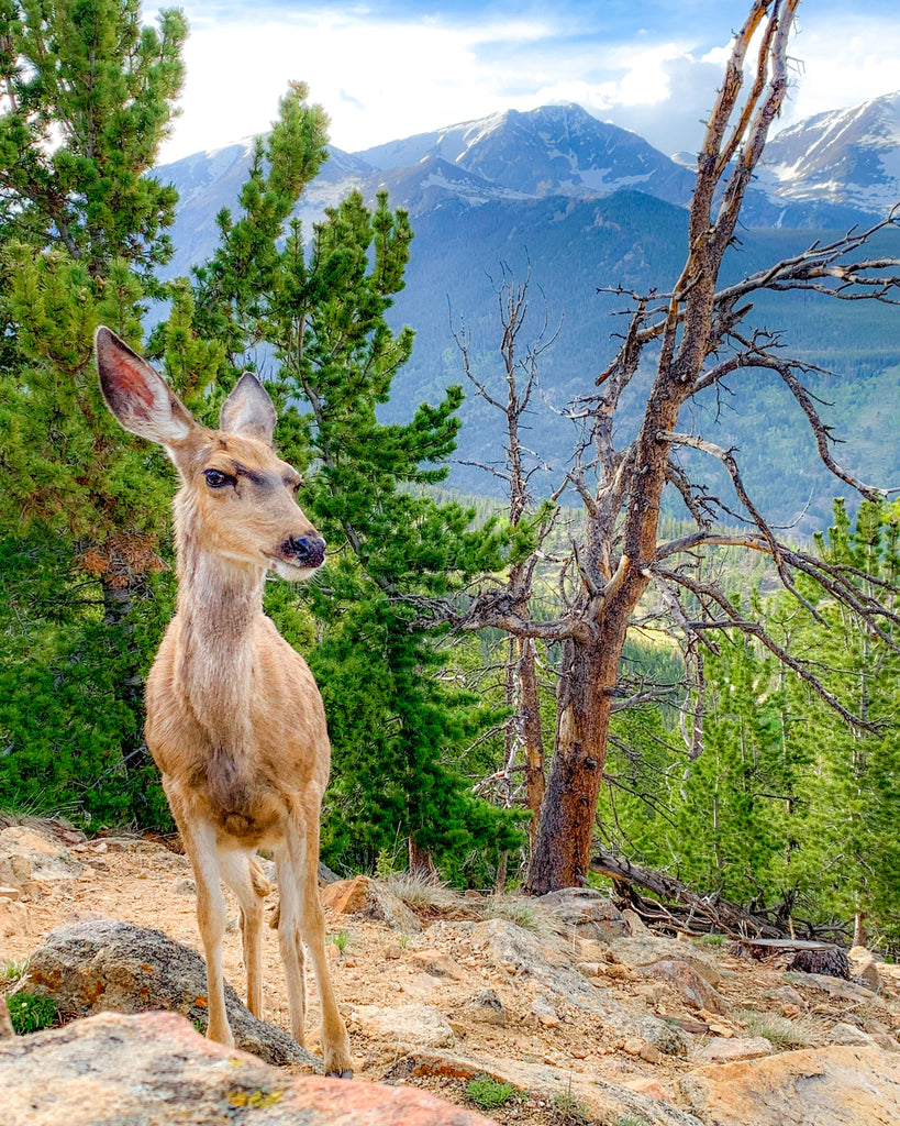 Side Eyeing Deer at Rocky Mountain National Park