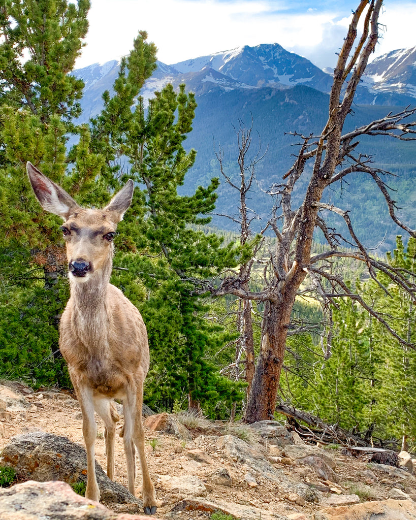 Gazing Deer at Rocky Mountain National Park
