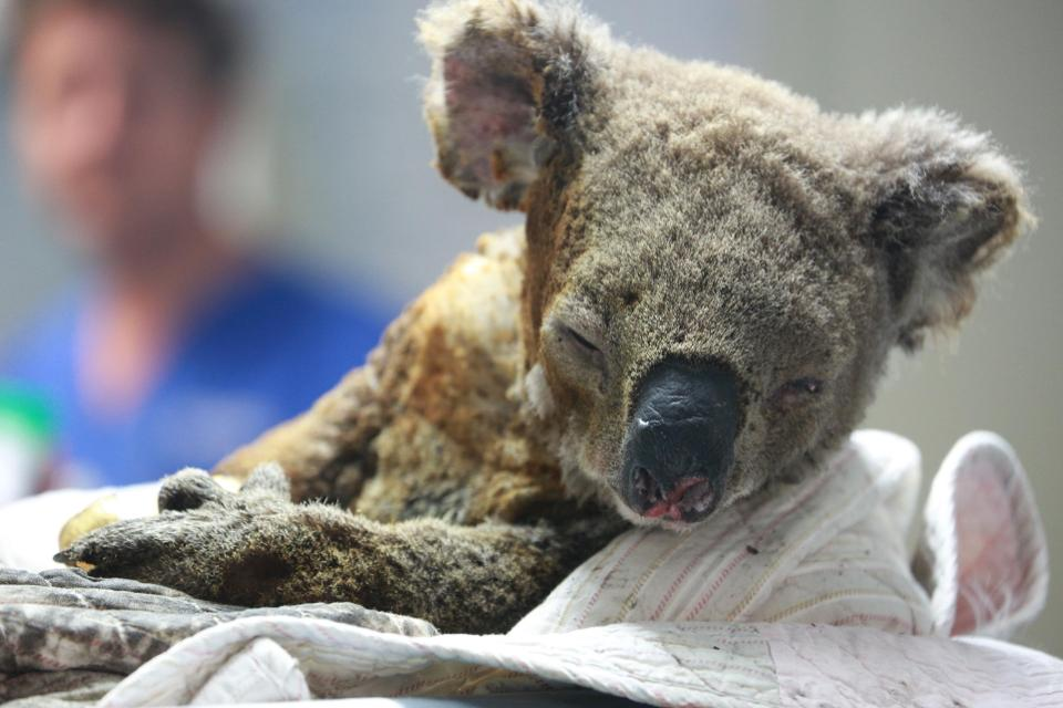 Koala injured in Australia wildfires