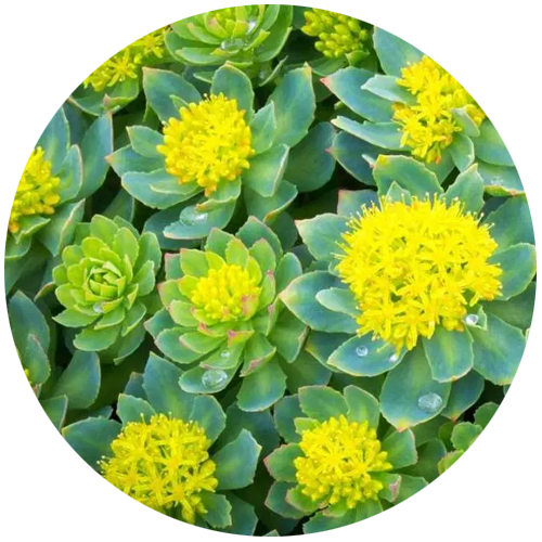Rhodiola Rosea In the Treatment of Depression