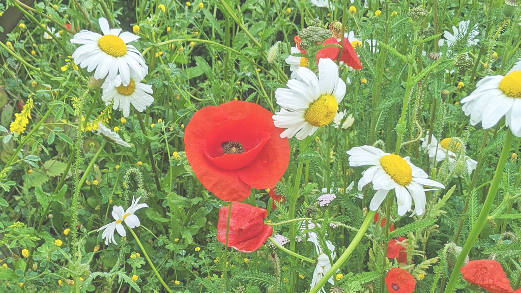 Wild poppies and daisies set against a grassy background.