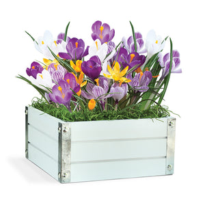 Colorful Crocus Bulb Gift