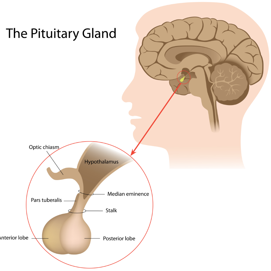 How Tongkat Ali Effects The Pituitary Gland - Tongkat Fitness