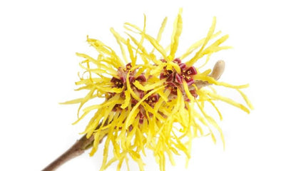 Witch-hazel-flowers-_RVYUYVO3YH22.jpg