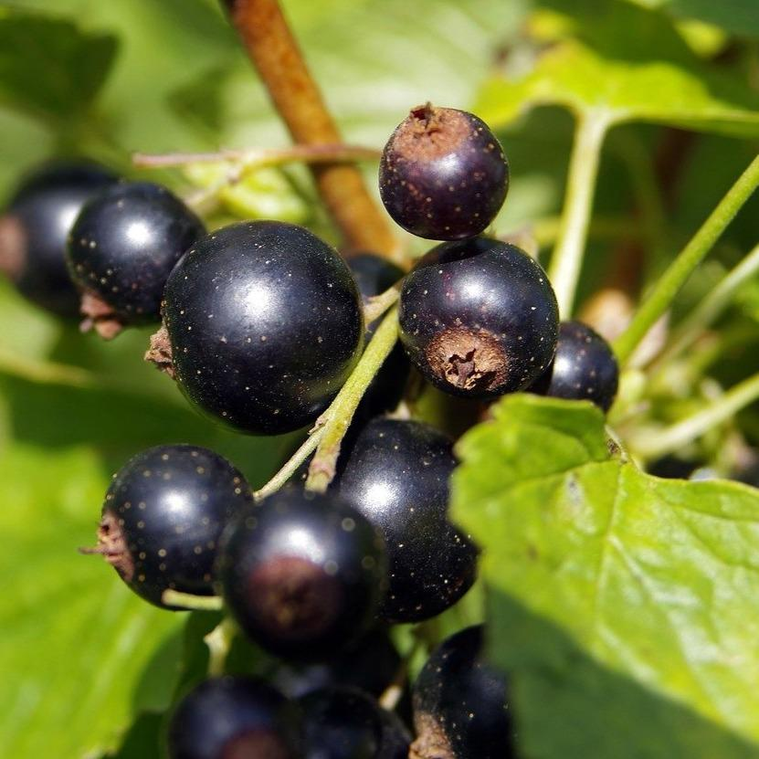 Consort Black Currants Ribes nigrum