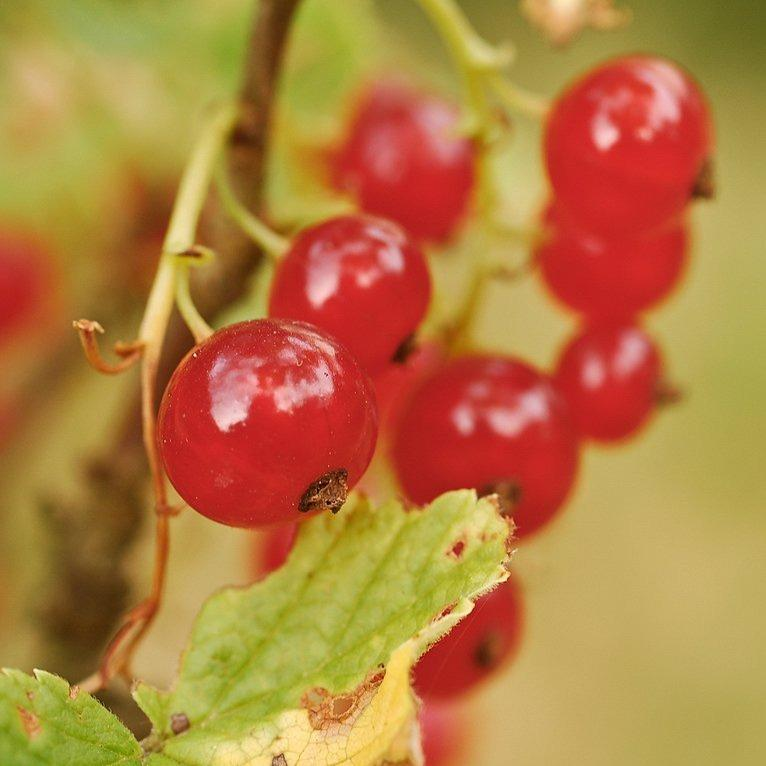 Red Lake Currants Ribes rubrum