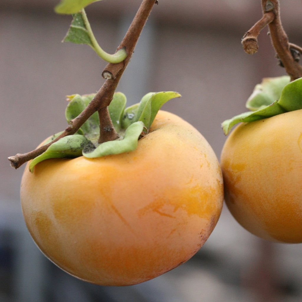 Saijo Asian Persimmon Diospyros kaki