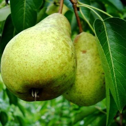 Warren Pear Pyrus communis