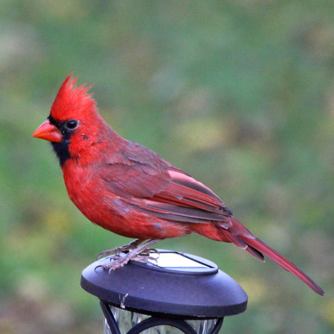 Cardinals & Grosbeaks