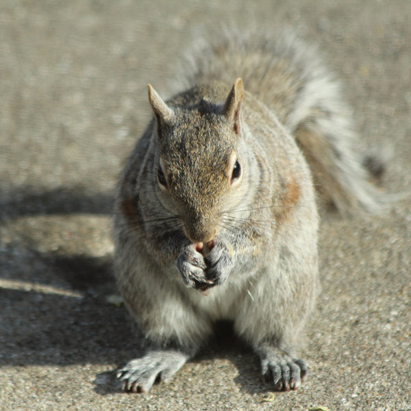 Gray squirrel with food