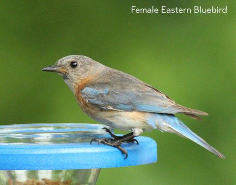 Female Eastern Bluebird