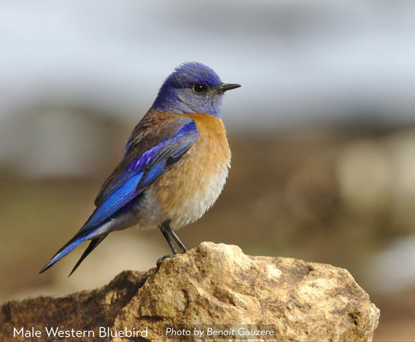 Male western bluebird by Benoit Gauzere