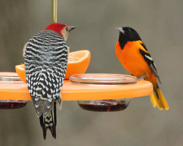 baltimore oriole and red-bellied woodpecker on feeder