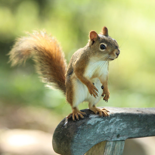 tiny red squirrel in sunlight