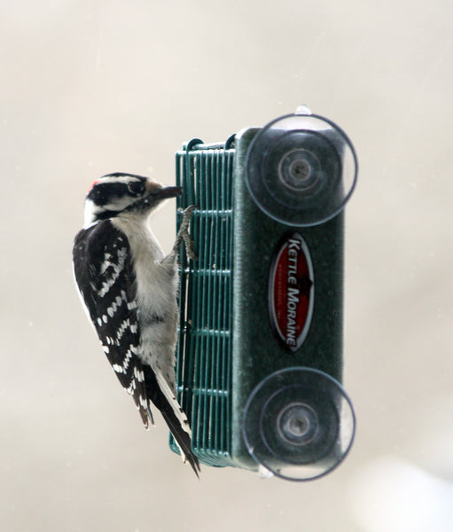 woodpecker eating suet from kettle moraine feeder