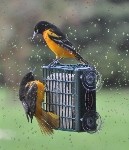 orioles on window mount suet feeder