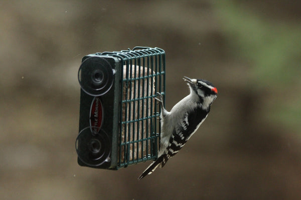 woodpecker clinging to suet feeder