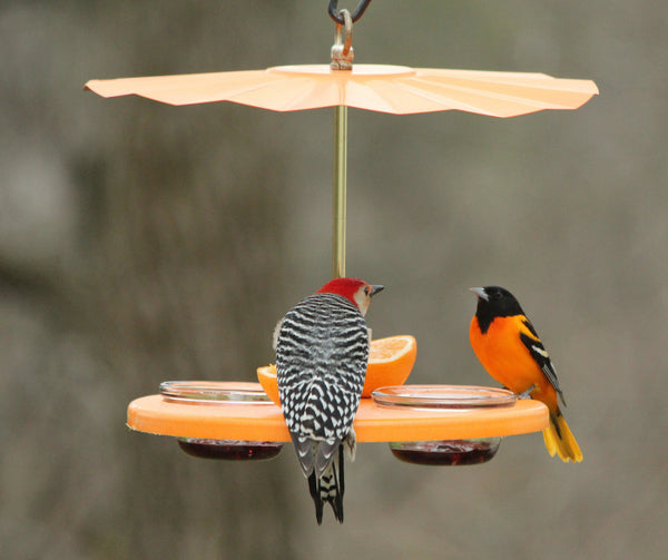 woodpecker and oriole sharing meal at fruit and cup feeder with roof