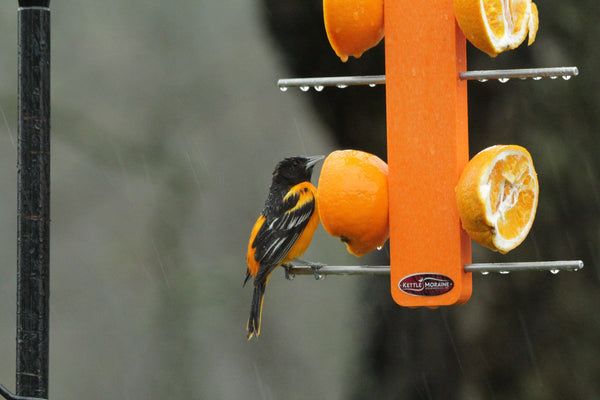 baltimore oriole eating from fruit stick feeder