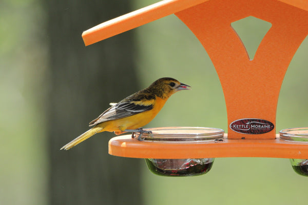 Juvenile baltimore oriole on Kettle Moraine orange cup feeder