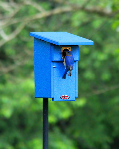 bluebird climbing into blue birdhouse
