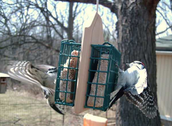 two nuthatches eating suet on bird feeder