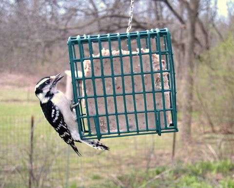 Woodpecker clinging to hanging suet cage