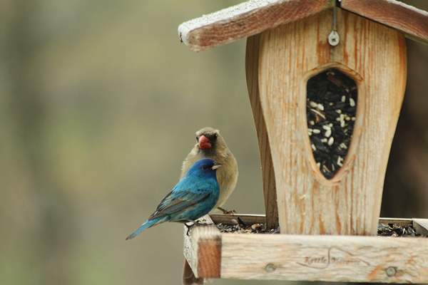 indigo bunting and grosbeak on cedar hopper feeder