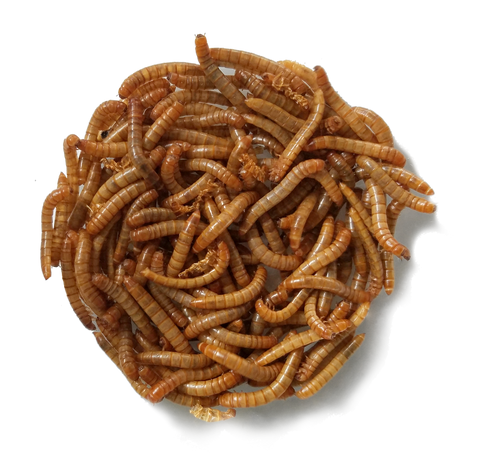 healthy live mealworms for reptiles or bluebirds