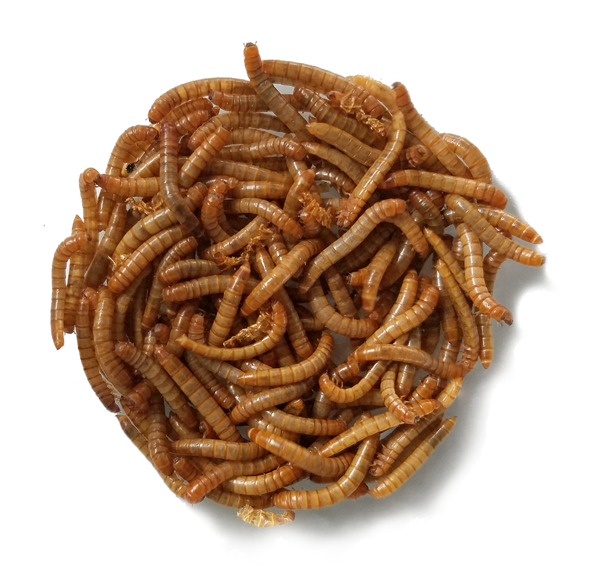 healthy live mealworms for bluebirds or lizards