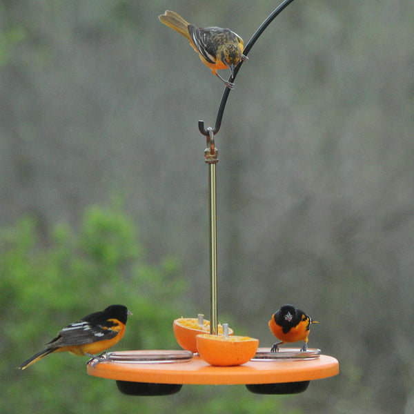 orioles eating oranges and jelly on platform feeder