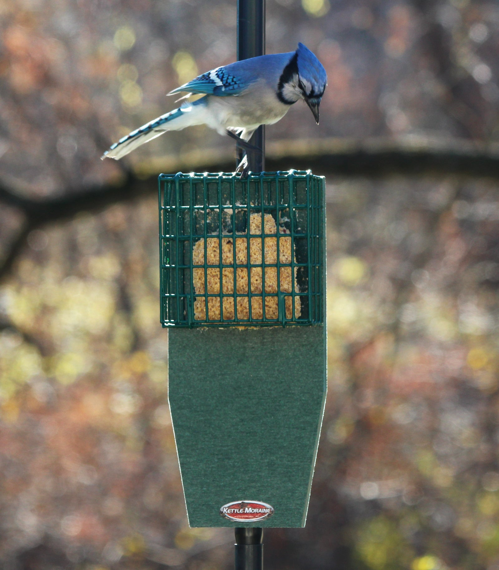 blue jay looking at suet in feeder