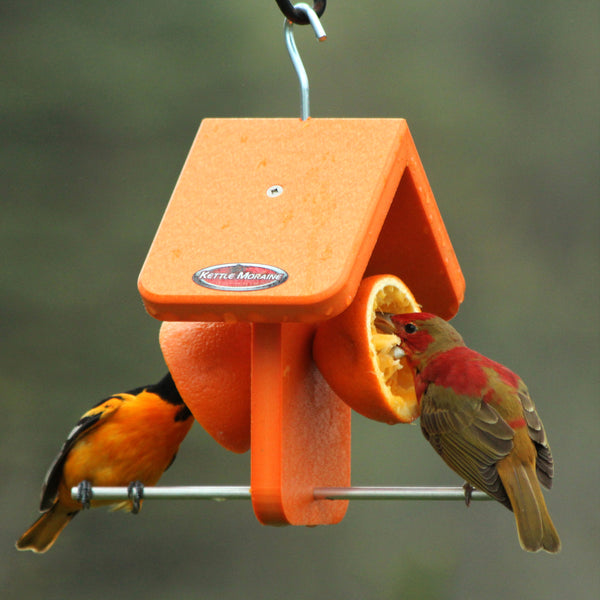 Two orioles eating oranges at feeder