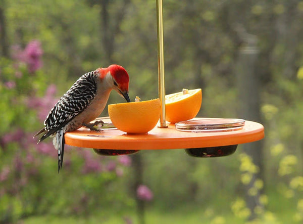 woodpecker eating orange on oriole feeder