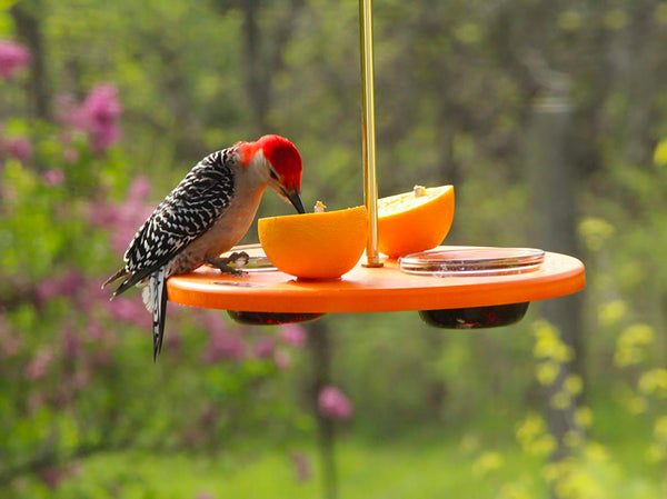 woodpecker eating orange on platform cup feeder