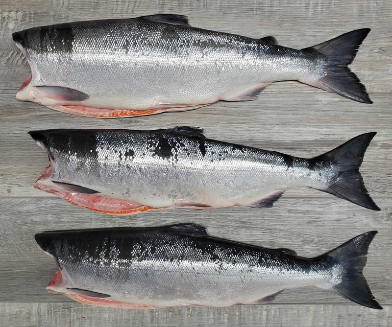 Fresh Wild BC Whole Sockeye Salmon 30lb SOLD OUT