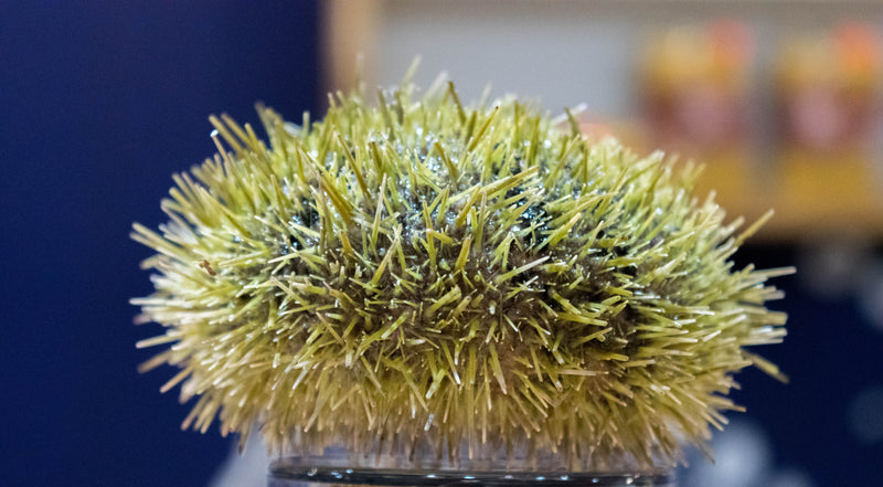 Live BC Green Sea Urchins (group of 3) PICK UP ONLY *Order for Jan 7-10*