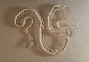 "Real 43"" Articulated Red Tailed Boa Constrictor Snake Reptile Skeleton - Bone - Skull - Taxidermy - For Sale - Gift - Buy - reptile"