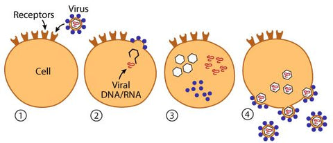 RNA virus replication