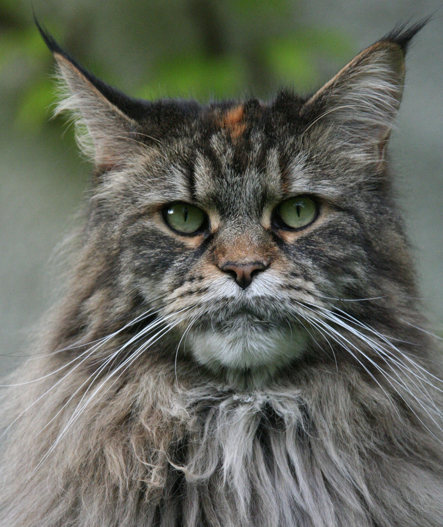 5 Things You Didn't Know About Maine Coons