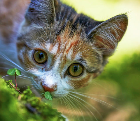 Cat sniffing grass in the garden