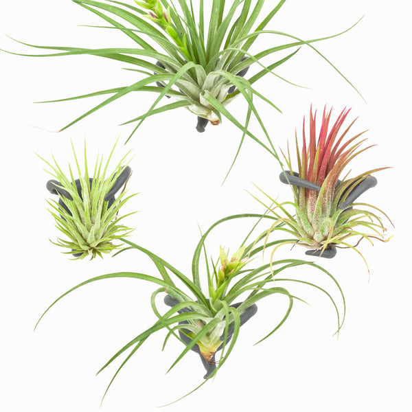 Rootcup Air Plant Nest