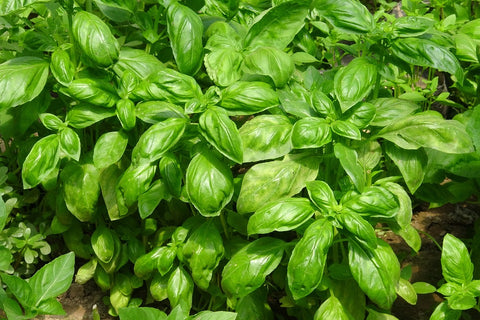 basil plant used to make essential oil