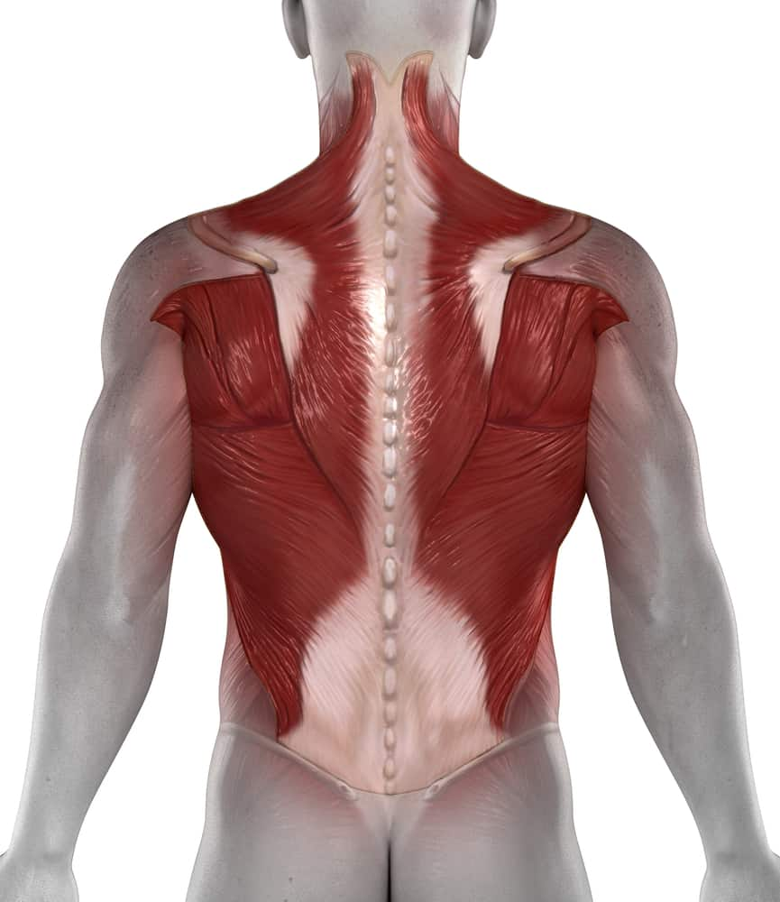 Abs back muscles antomy posterior view for osteomyopathy