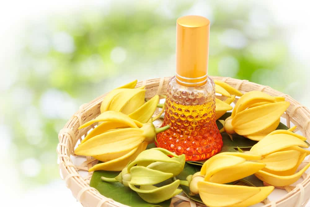 Ylang ylang flowers and essential oil