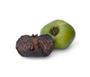 All About Black Sapote